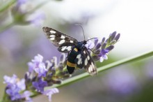Fotografie květin, fotky květinových dekorací pro publikace na téma fotografie, květiny, kytky, dekorace, fotky, Amata phegea, butterfly, decoration, flower, garden, insect, lavender, nobody, outdoor, summer