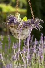 Fotografie květin, fotky květinových dekorací pro publikace na téma fotografie, květiny, kytky, dekorace, fotky, basket, decoration, flower, garden, hang, hanged, lavender, nobody, outdoor, summer